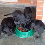 Hvalpefoder er en vigtig del af hundens udvikling